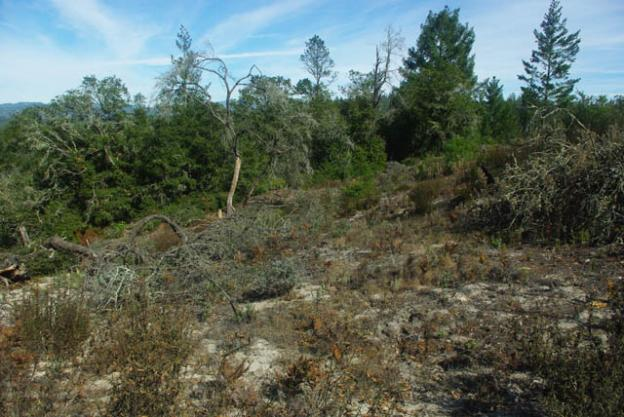 Larger plants, including oak and fir trees, can overtake the scrubby sandhill plants if fires do not clear out leaf litter. Photo by Emma Hiolski.