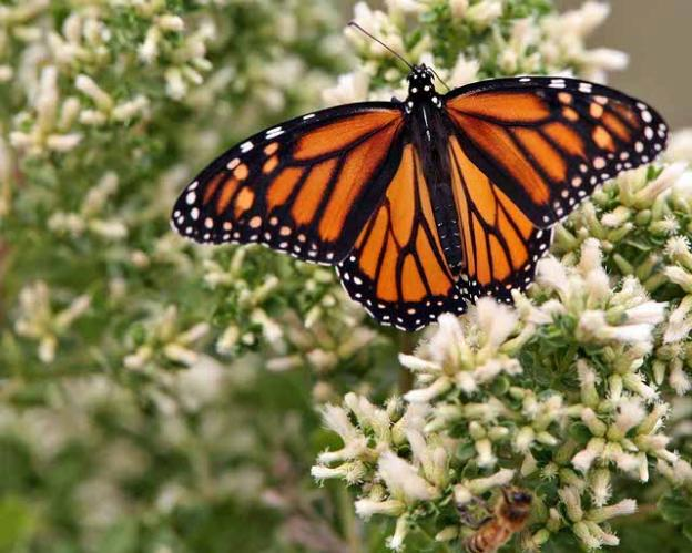 A monarch butterfly on coyote brush. Photo by Mike Baird on Flickr.