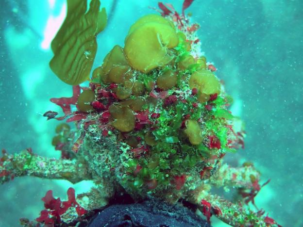 The shells of decorator crabs are adorned with algae and other marine life that help them hide from predators. Catherine Drake photo.