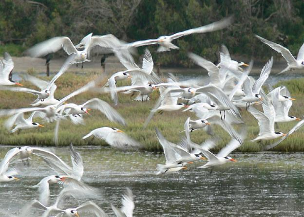 A mass of terns (white seabirds) taking flight over a wetlands. Photo by VIcki and Chuck Rogers/Creative Commons.