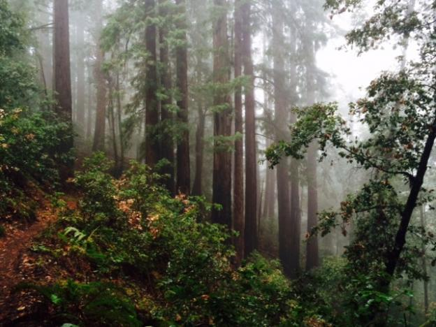 Redwood forests sequester three times as much carbon as other forests.  Hilltromper photo.