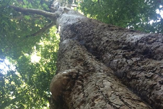 The Western sycamores at Henry Cowell are notable for their height and mass.  Hilltromper photo.