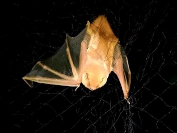 This Western Red Bat is caught in a mist net. Photo credit: Marm Kilpatrick