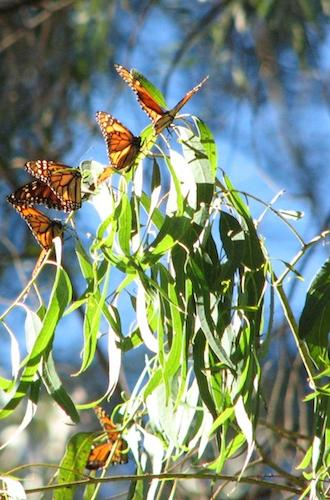 closeup of monarch butterflies at Natural Bridges State Beach by Alpha Geek on Flickr