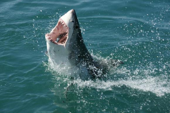 Great White Shark showing off a deadly set of teeth. Photo by Travelbag Ltd (Flickr)