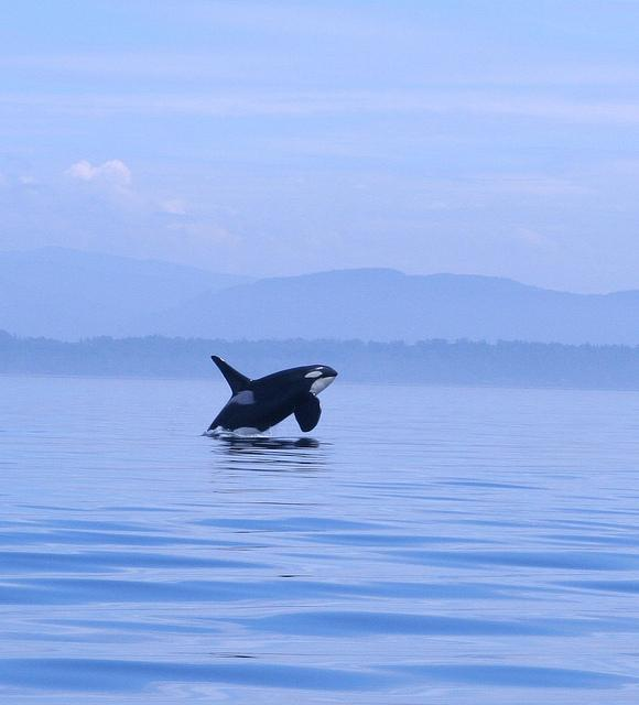 A wild orca leaping out of the water. Photo by Kim (Flickr)