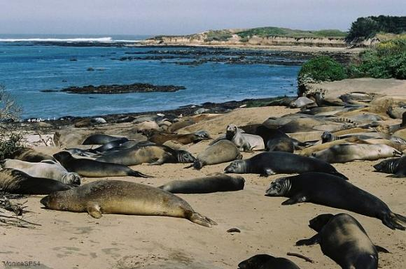 Elephant seal mothers and pups at Ano Nuevo. Photo credit: MonicaSP54 on Creative Commons.