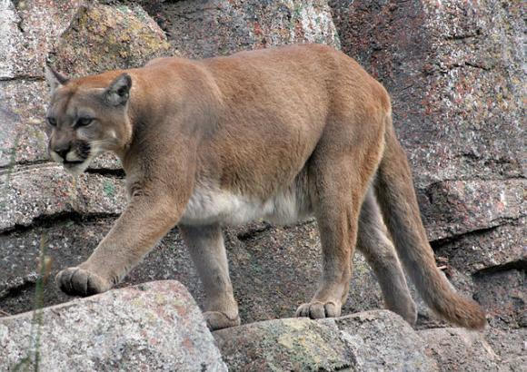 Mountain lions—also called pumas, panthers, cougars and catamounts—can weigh over 200 pounds. Photo by Tony Hisgett / Creative Commons.
