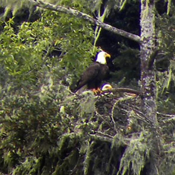 Bald Eagle seen in a fir tree in March of 2012. Photo by Sarah Lenz.
