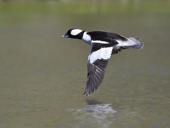 The striking markings of the bufflehead are a common sight on Five Fingers Loop. Photo by Bill Bouton via Wikimedia.