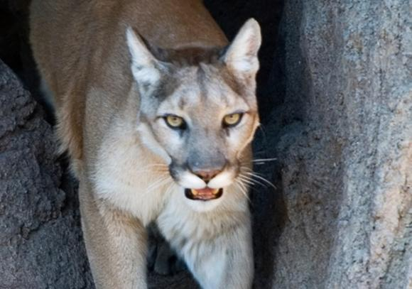 An estimated 60 mountain lions die on California highways each year. Photo by cm0riss0n/Creative Commons.