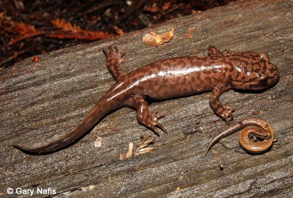 California Giant Salamander adult compared to a Slender Salamander. Photo credit to Gary Nafis