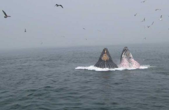 Humpbacks 'lunge feeding' in Monterey Bay last Sunday.