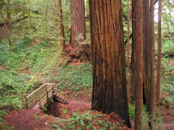 Easy trails in Nisene Marks wend among some old-growth redwoods. Photo credit: Leor Pantilat.