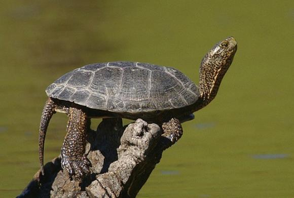 Western pond turtle photographed by Yathin S. Krishnappa