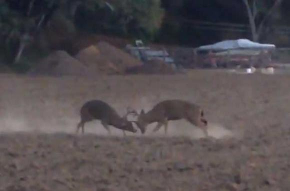 Two eight-point blacktails got into a dustup a couple weeks ago in the Aptos hills.