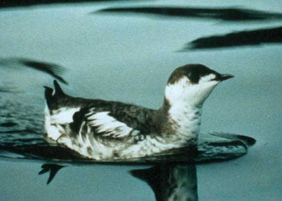 Shy and small, the marbled murrelet lives most of its life at sea but nests in old-growth redwoods and Douglas firs.