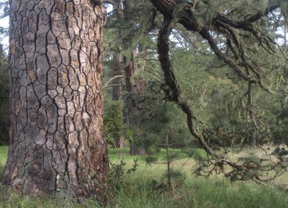 Closeup of ponderosa pine bark in green meadow.