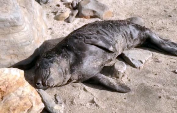Too young to swim, this female elephant seal pup washed up the beach near Waddell last week. Doug Ross photo.