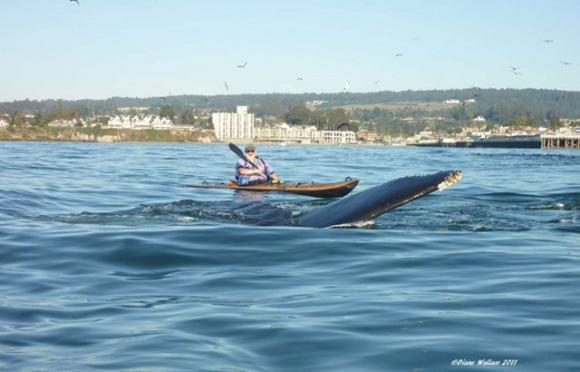 The fin of a humpback whale surfaces just feet from a kayaker. Photo by Diane Wallace.